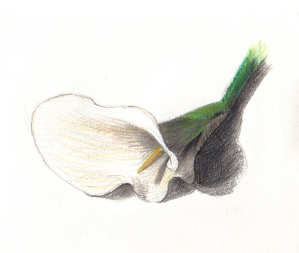 white lily, colour pencils