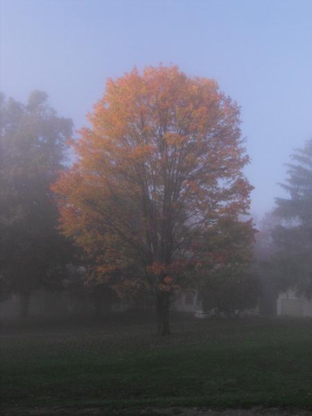 orange tree in mist