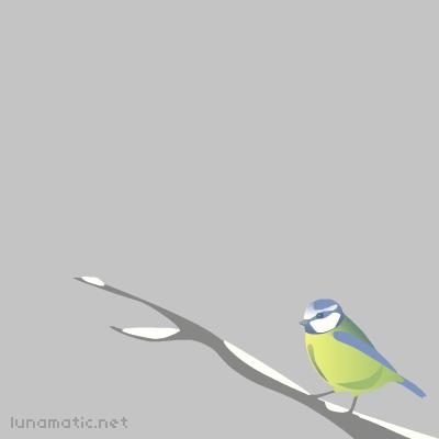 Bluetit, perched on a snowy branch