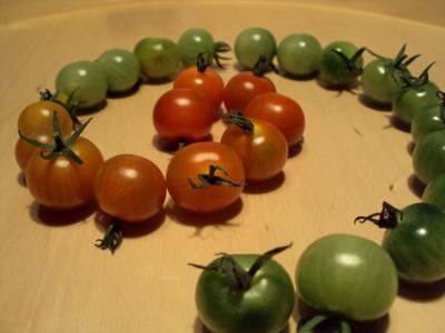 Cherry tomatoes in various states of ripeness