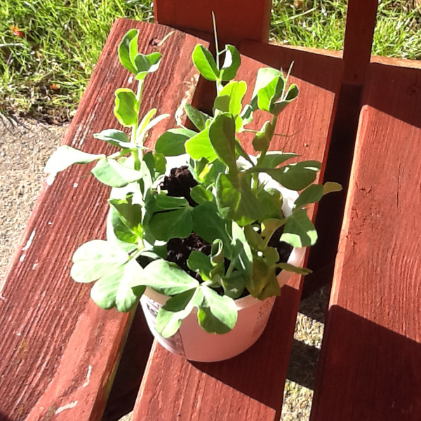 Pea seedling sitting on a wooden bench in the sun