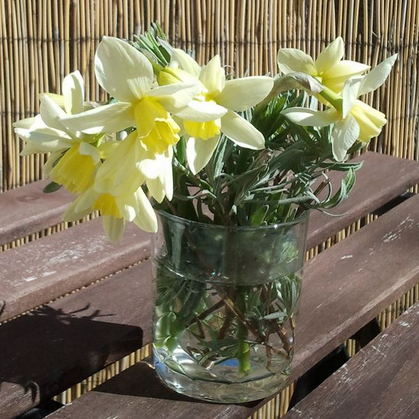 Pale daffodils with lavender foliage